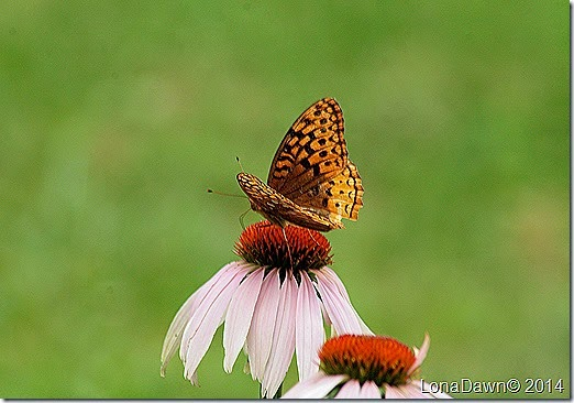 Echinacea Spangled Fritillary Butterfly2