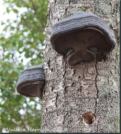 6-hoof-fungi