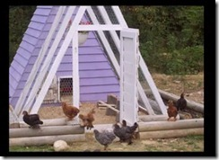 kandang ayam di kebun 006