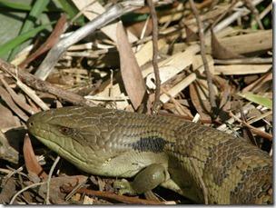 slow lizard 004