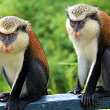 Mona Monkeys at Grand Etang National Park - St. George's, Grenada