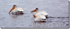white pelicans at tule lake