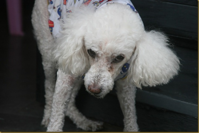 Ranter, poodle machucado e traumatizado