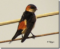047 Red-rumped Swallow.