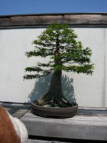 CM Bonsai #11