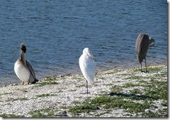 Pelican, Egret, and Heron on a sand bar island