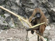 besançon babouin de Guiné