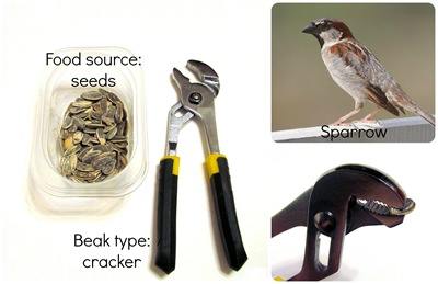 Montessori Tidbits:  Bird beak seed cracker sparrow