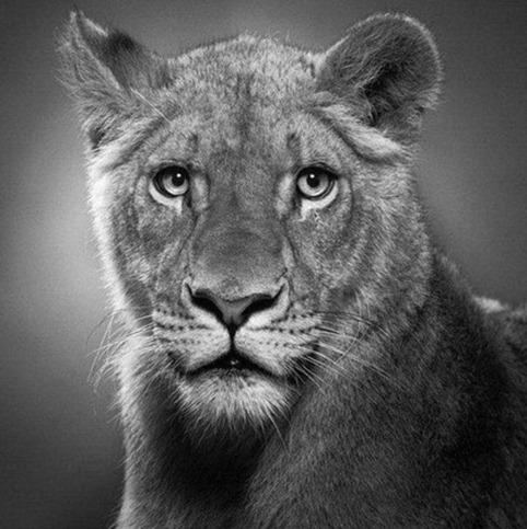 Desenho de leoa feito à lápis
