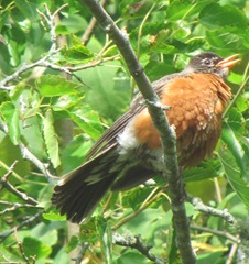 7.29.12 robin in mulberry tree cape