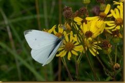 Small White, Pieris rapae on Ragwort