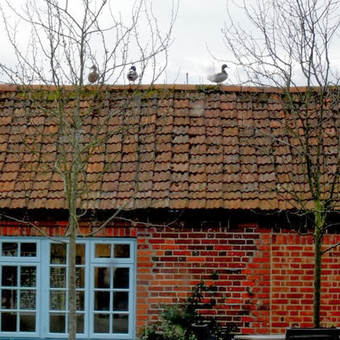 three Mallard surveying their kingdom at Pensthorpe Nature Reserve