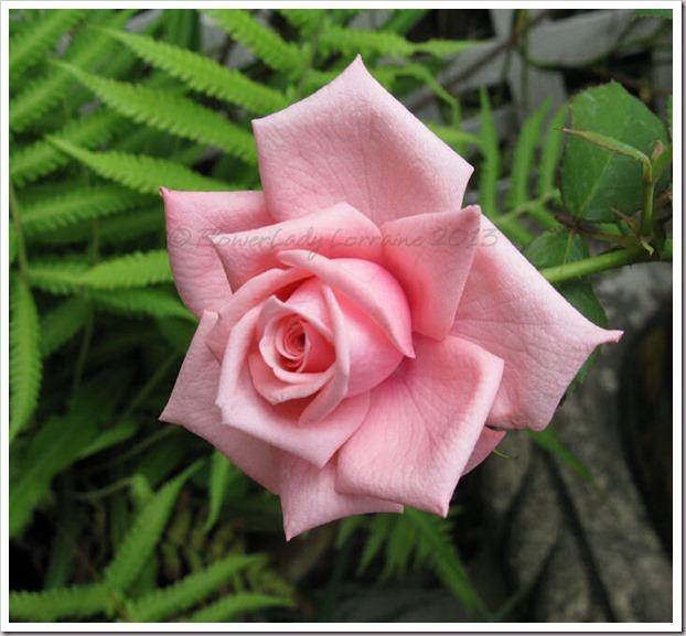 04-29-unkn-rose3
