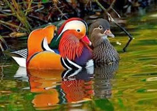 Amazing Pictures of Animals, Photo, Nature, Incredibel, Funny, Zoo, Mandarin Duck, Aix galericulata, Alex (6)