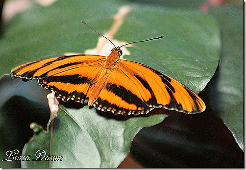 FPC_Butterfly_Banded_Orange