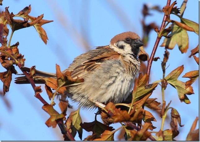 tree_sparrow1