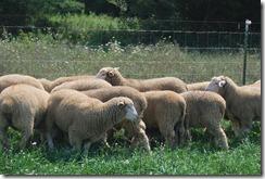 IDF Sheep Aug 016