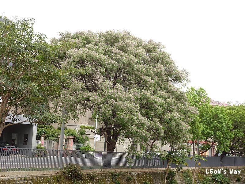 2013_0321-0322 苦楝樹_018