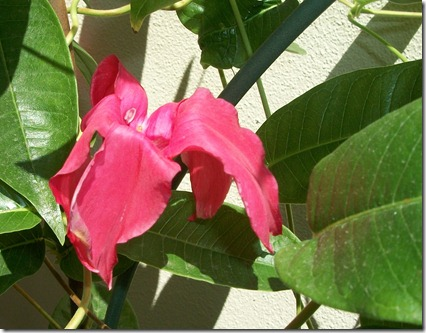 Mandevilla in August 004