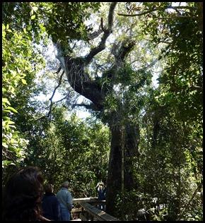 23d - Mahogany Hammock - Huge Mahogany Tree