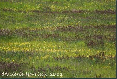 22-meadow
