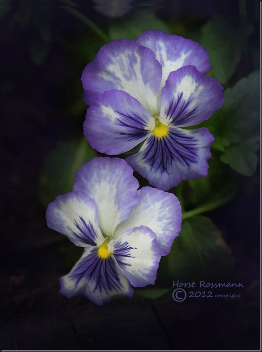 Two Pansy copy