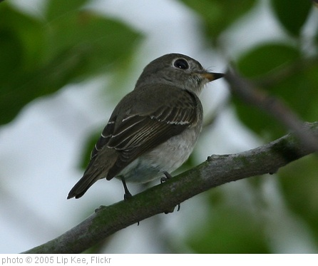 'Asian Brown Flycatcher (Muscicapa dauurica)' photo (c) 2005, Lip Kee - license: http://creativecommons.org/licenses/by-sa/2.0/