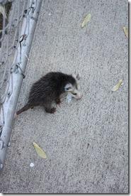 baby Possum 001