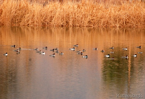 15. common mergansers-kab