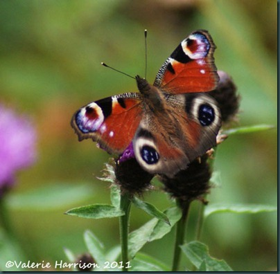 6-peacock-butterfly