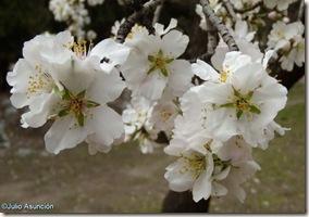 Flores de almendro - Quinta de los Molinos - Madrid