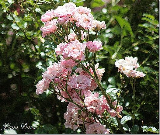 EJC_Pink_Roses