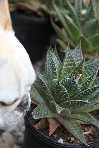 Martha tells me that this plant, an aloe, can help heal a burn and other skin irritations.  Isn't that amazing?