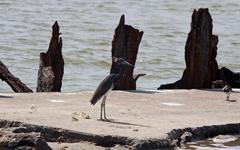 Blue Heron Rollover Pass 2