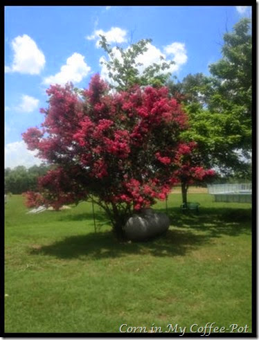 Crepe Myrtle on the south side