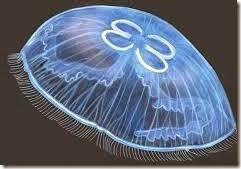 jellyfish-images-aurelia (5)