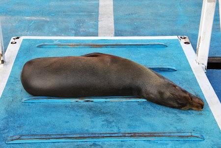 Imagini Galapagos: foca la plaja pe ponton