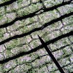 chloroplasts_elodea.jpg