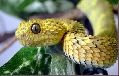 Amazing Animals Pictures The Bush Viper (3)