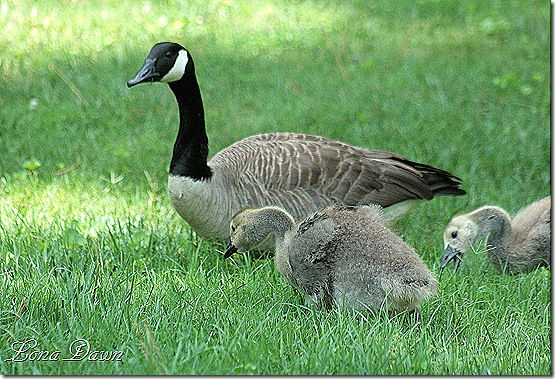 LG_Geese_Goslings