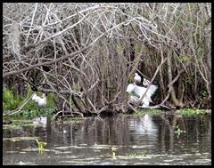 06a - White Ibis