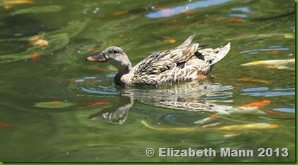 94-duck2