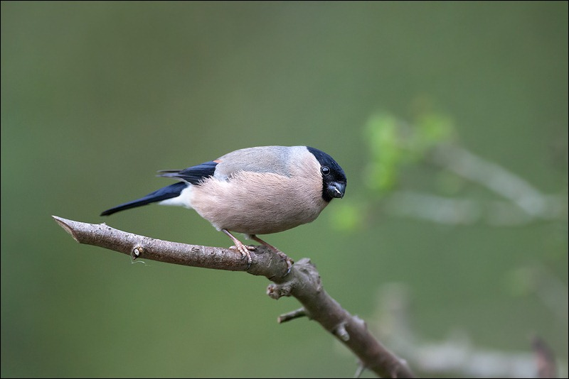 Female Bulfinch