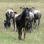Gnus in der Serengeti © Foto: Ulrike Pârvu | Outback Africa Erlebnisreisen