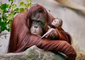Amazing Pictures of Animals, Photo, Nature, Incredibel, Funny, Zoo, Bornean orangutan,Pongo pygmaeus, Primates, Alex (10)