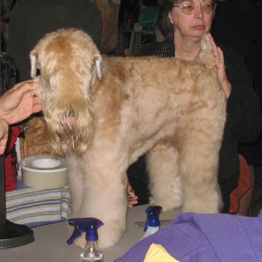 A Soft Coated Wheaten Terrier hides his eyes.