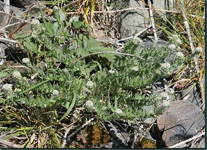 26-smiths-pepperwort