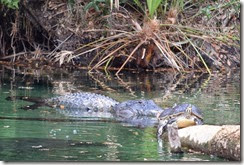 Alligator and turtle-2