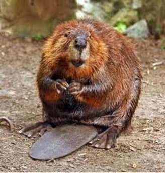 Amazing Pictures of Animals, Photo, Nature, Incredibel, Funny, Zoo, Beaver, Castor, Mammals,  Rodentia, Alex (9)
