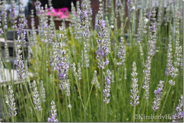 lavender (6)